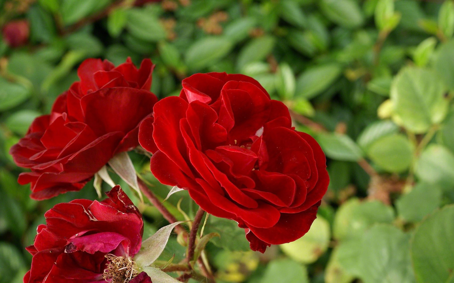 Red Roses – Photography Wallpapers