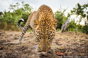 Wildlife Animals by Will Burrard-Lucas