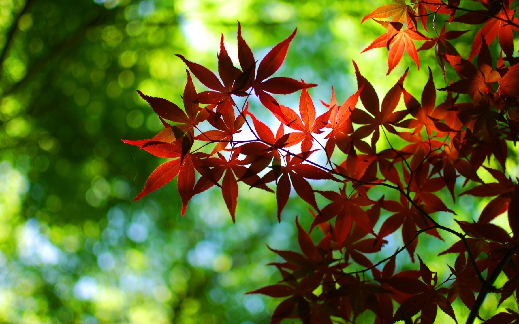 Japanese Maple Tree Leaves – Photography Wallpapers