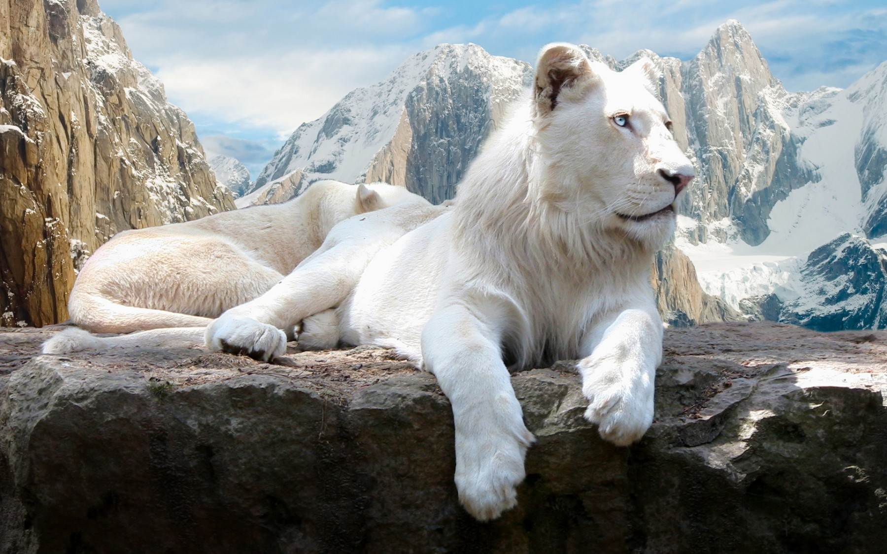White Lion – Photography Wallpapers