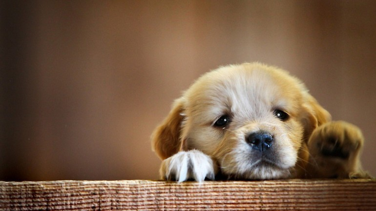 Cute Puppy in a Box – Photography Wallpapers