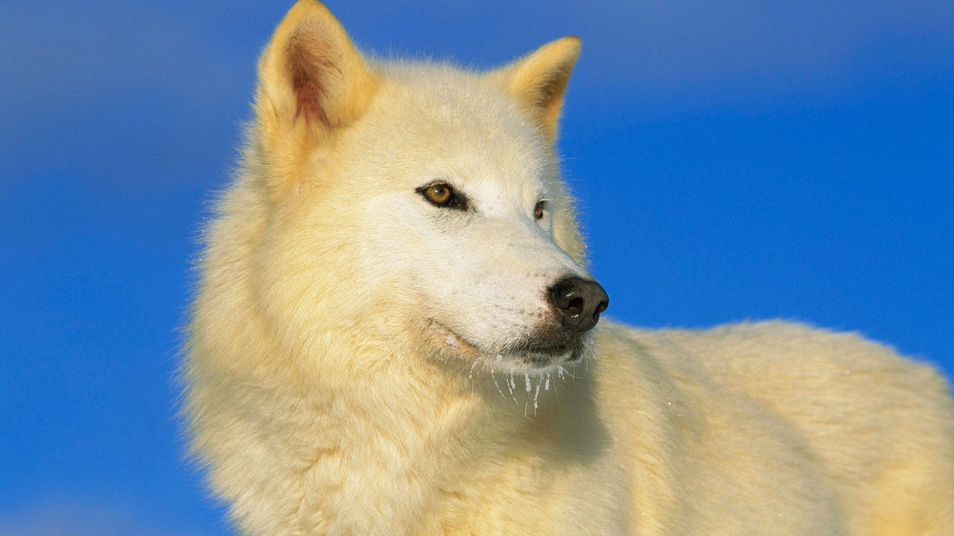 Polar Wolf – Photography Wallpapers