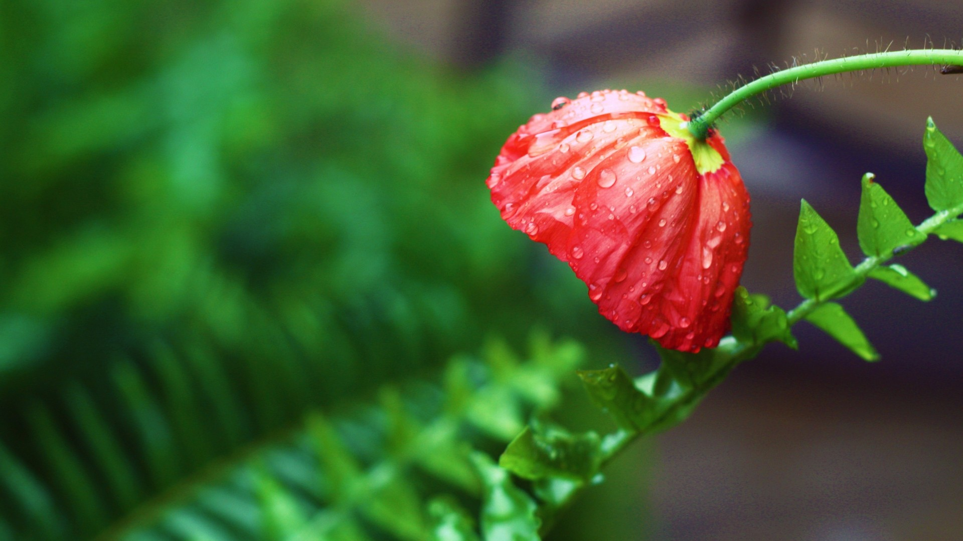Red Poppies and Ferns – Photography Wallpapers