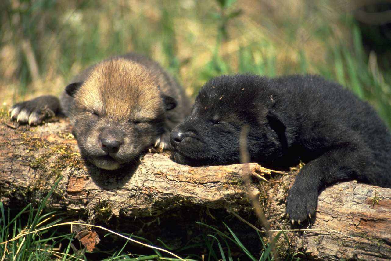 Wolf Pups – Photography Wallpapers