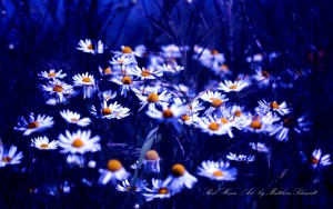 Chamomile Flower – Photography Wallpapers
