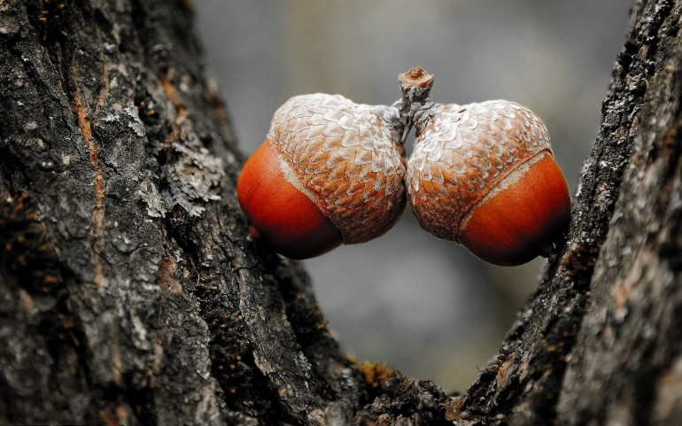Close Up Acorns – Photography Wallpapers