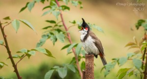 Red-whiskered bulbul – Photography Wallpapers