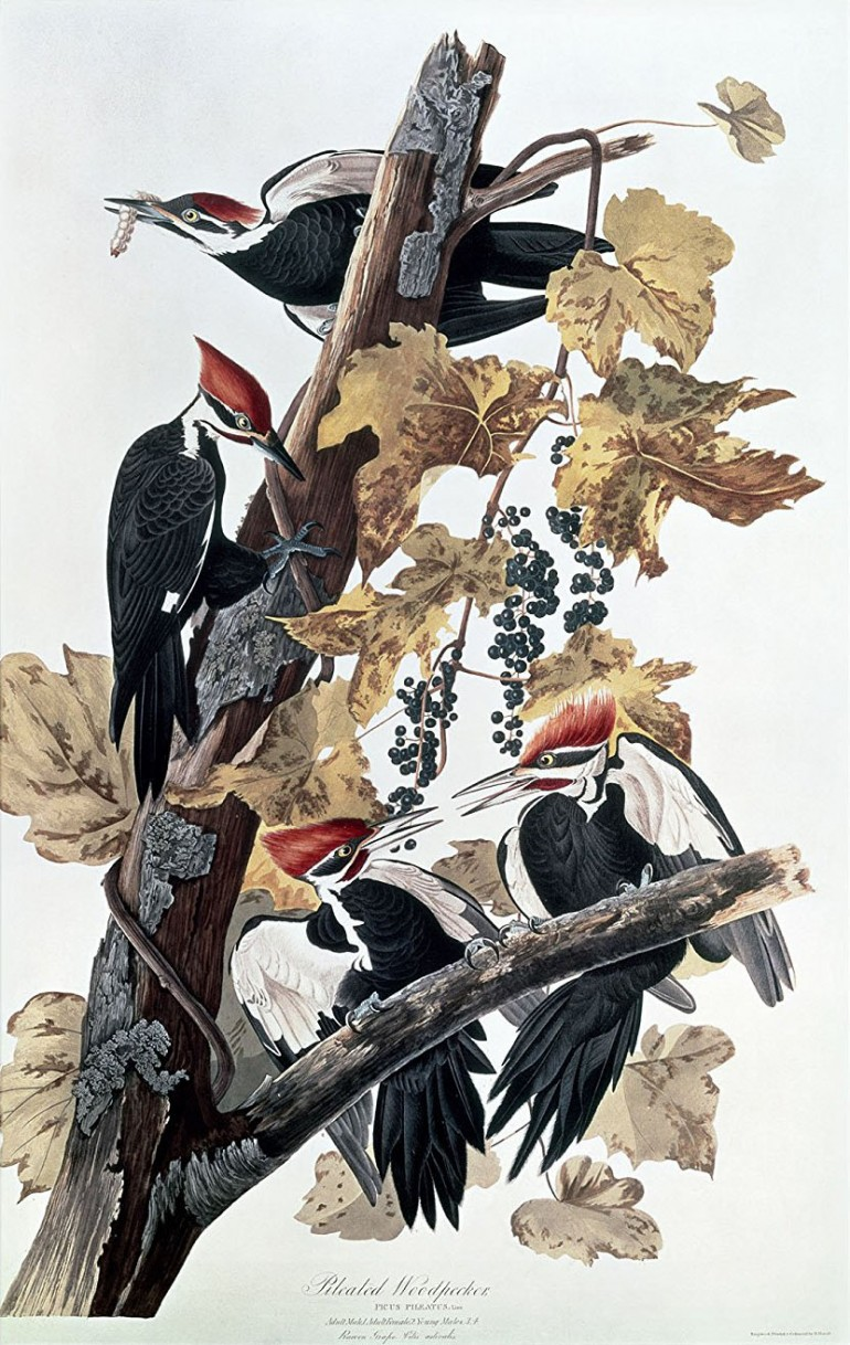 Trademark Fine Art Pileated Woodpeckers Artwork by John James Audubon