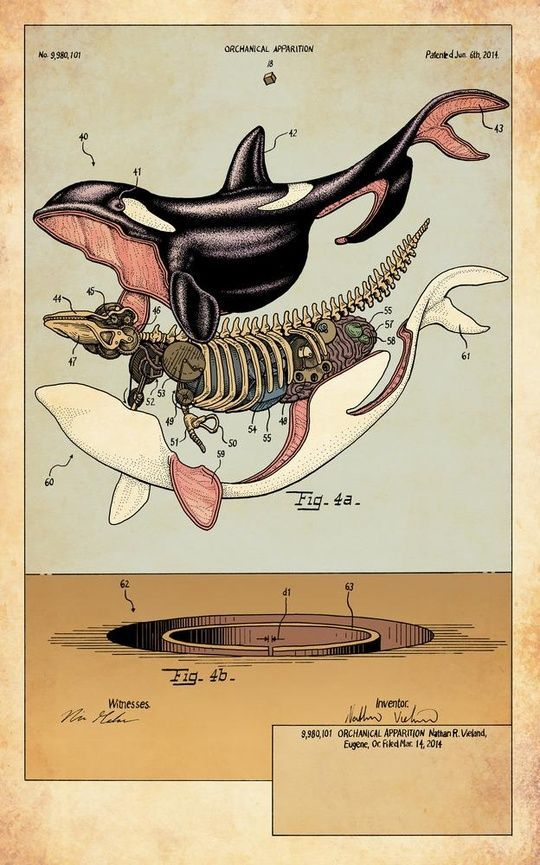 Orca Anatomical Illustration Exploded View Scientific Illustration