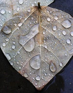 Leaf in Rain | Flickr – Photo Sharing!