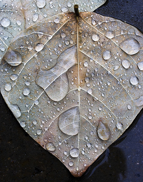 Leaf in Rain | Flickr – Photo Sharing!