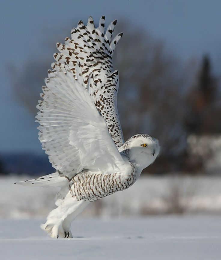 Stunning shot of an owl lifting off