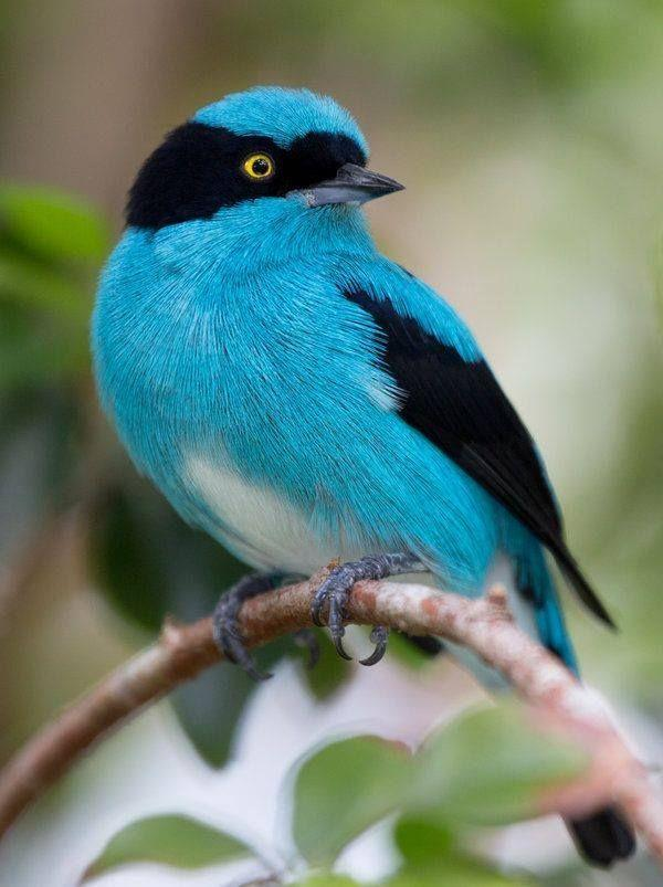 black-faced dacnis by laura ferry – Pixdaus