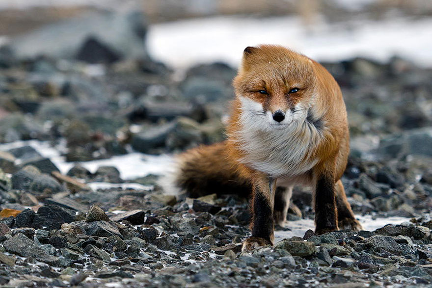 Windswept Fox