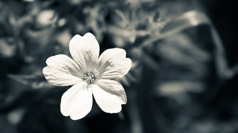 Black And White Flower – Photography Wallpapers