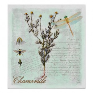 Nouveau Botanical Illustration – Chamomile Cottage art print