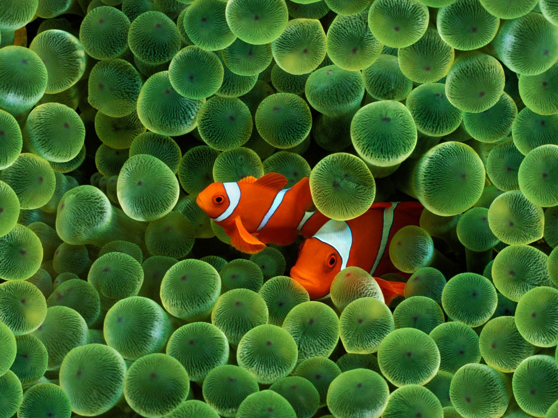 Clown Fish – Photography Wallpapers