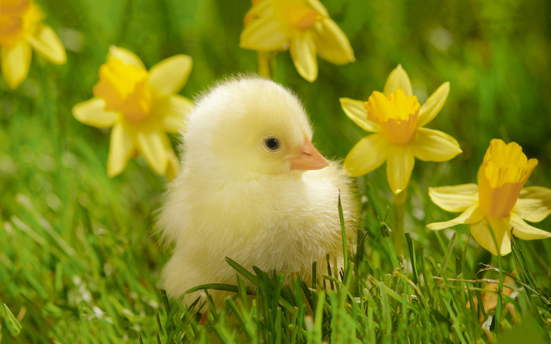 Cute Chick – Photography Wallpapers