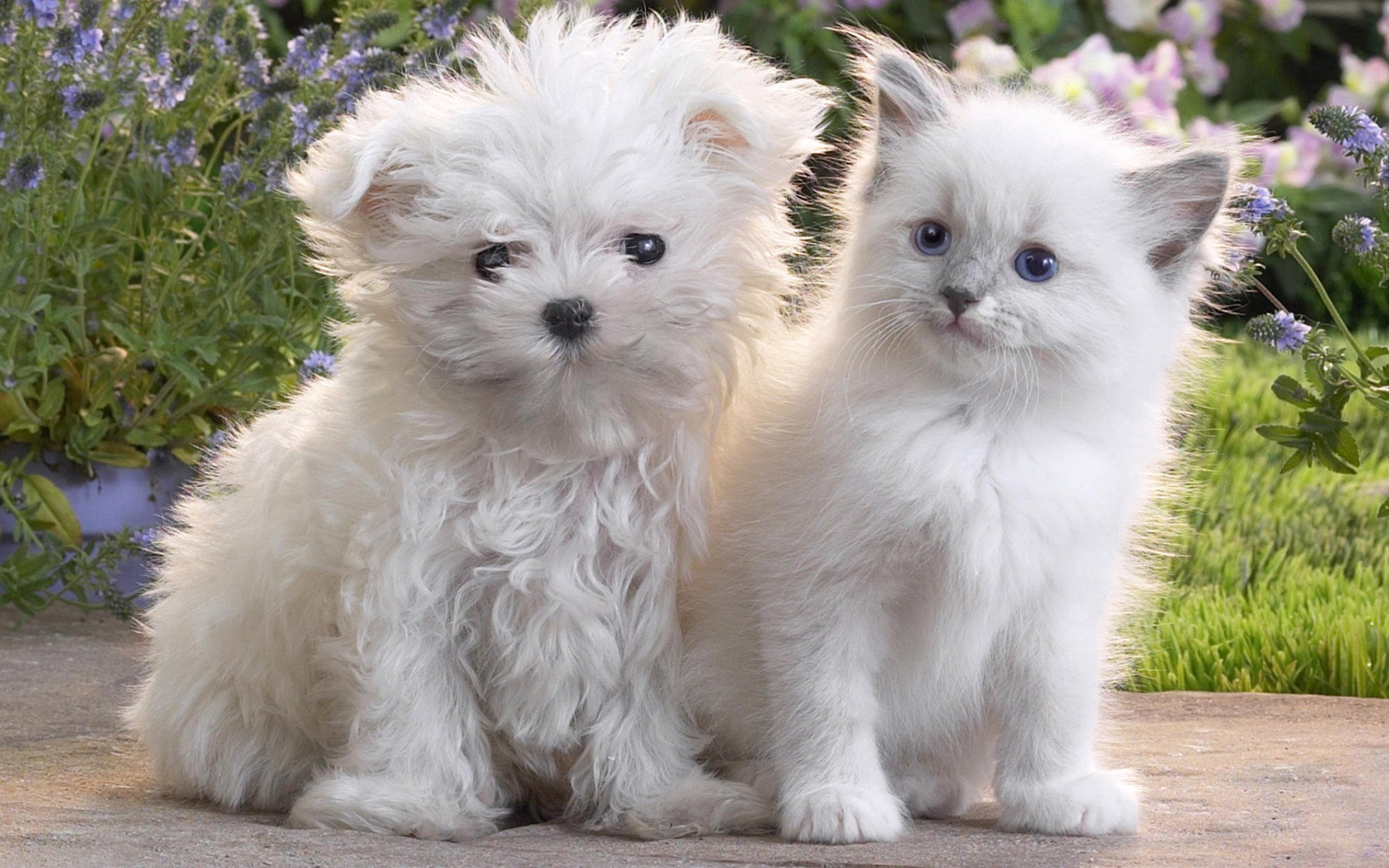 Cute White Puppy and Kitten – Photography Wallpapers