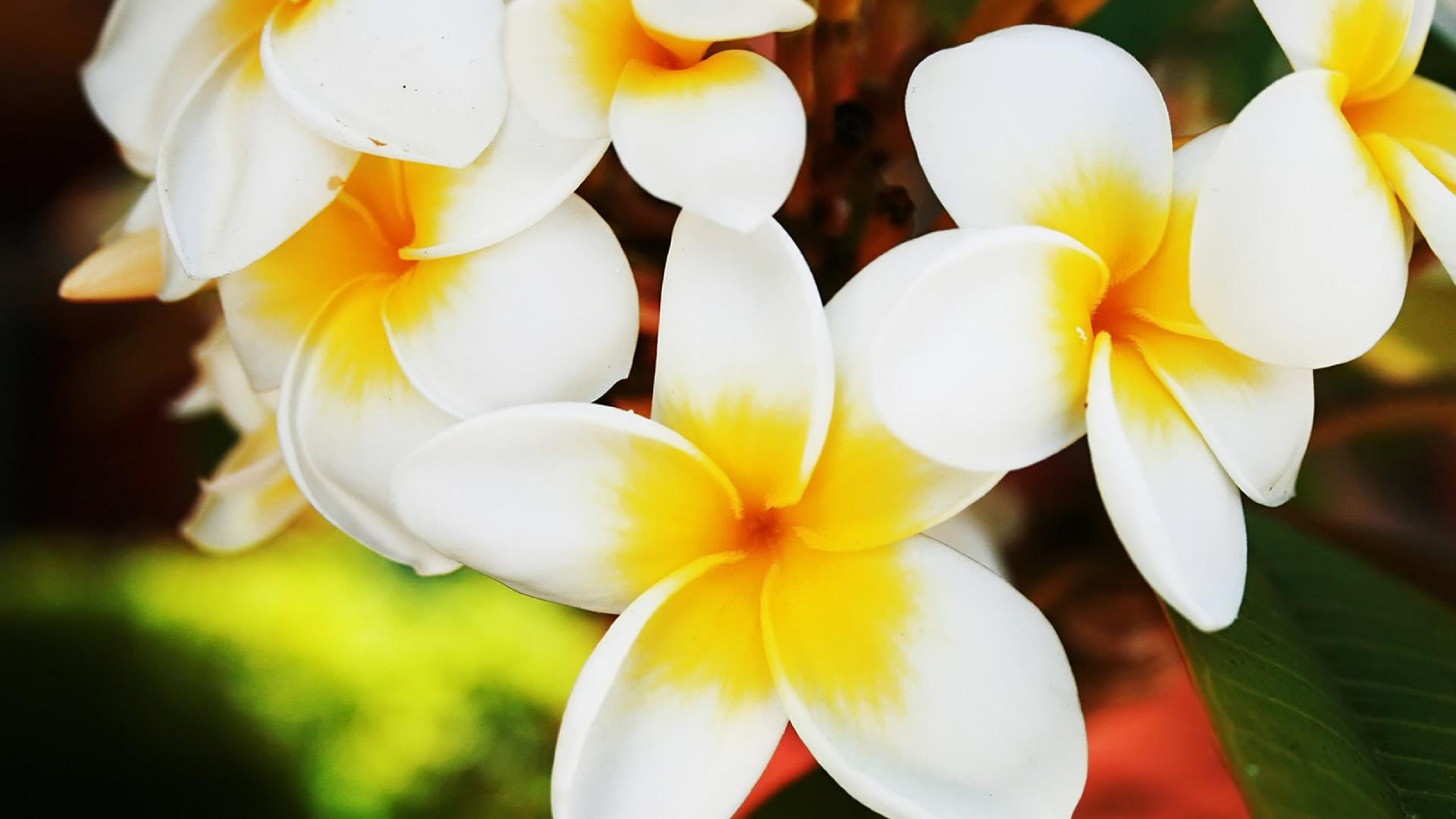 Hawaiian Flower – Photography Wallpapers