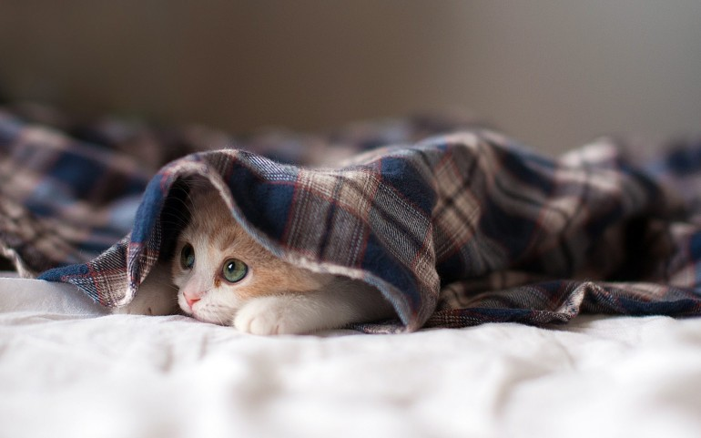 Kitten Under a Blanket – Photography Wallpapers