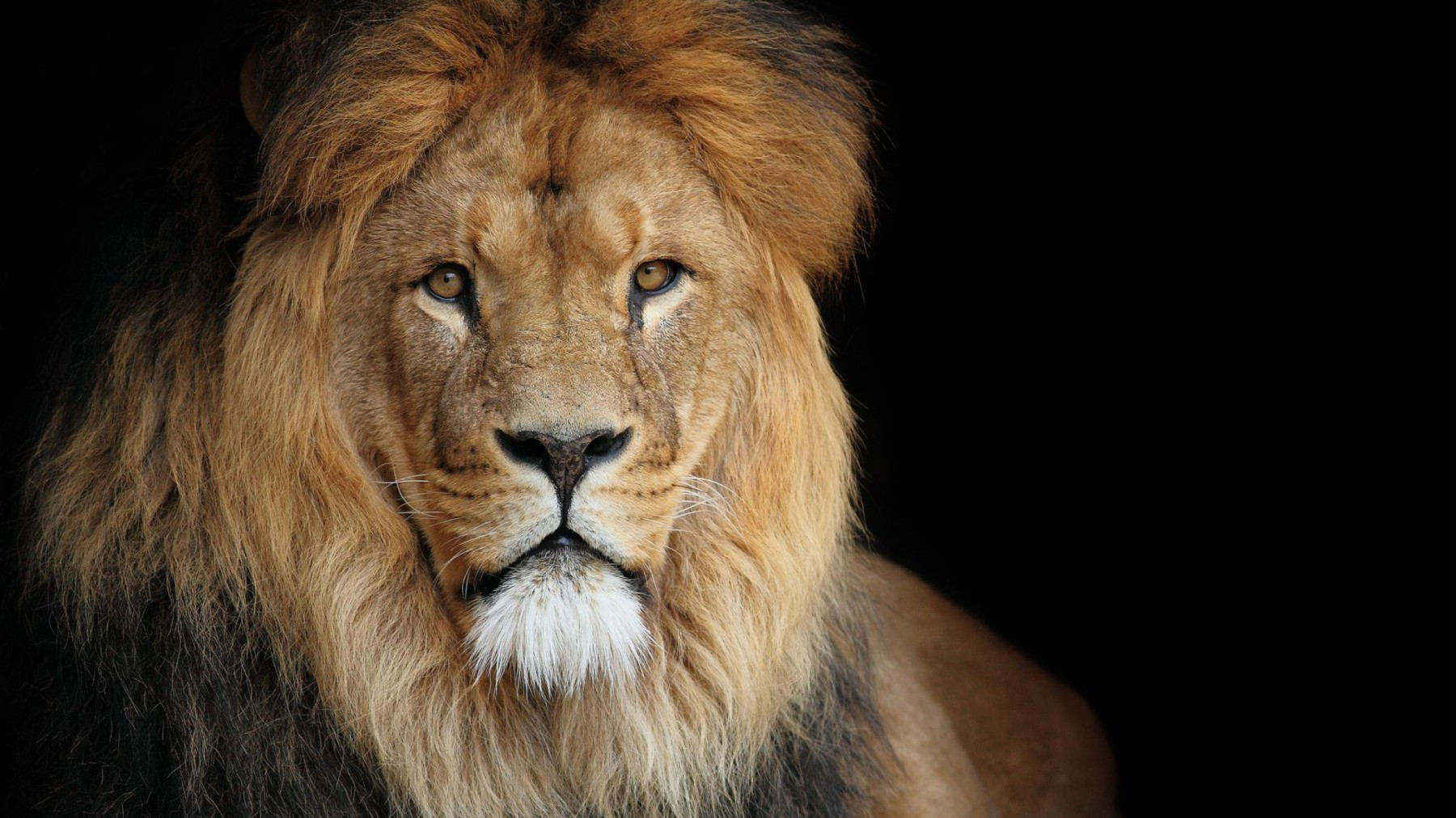 Lion Portrait – Photography Wallpapers
