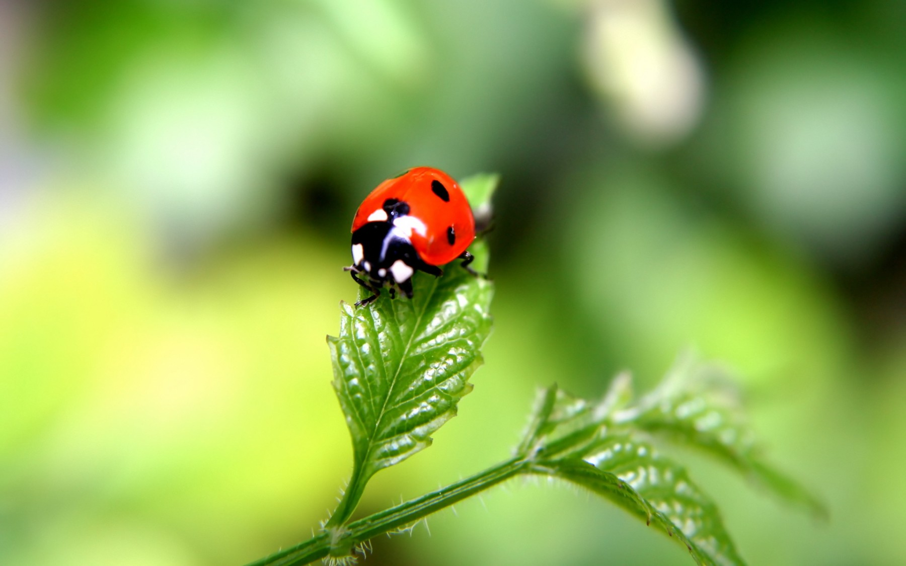 Macro Ladybug – Photography Wallpapers
