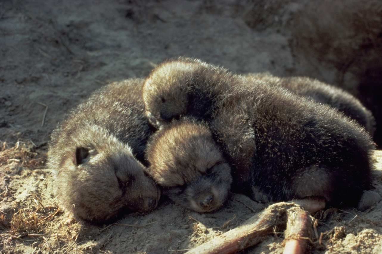 New Born Wolf Pups – Photography Wallpapers