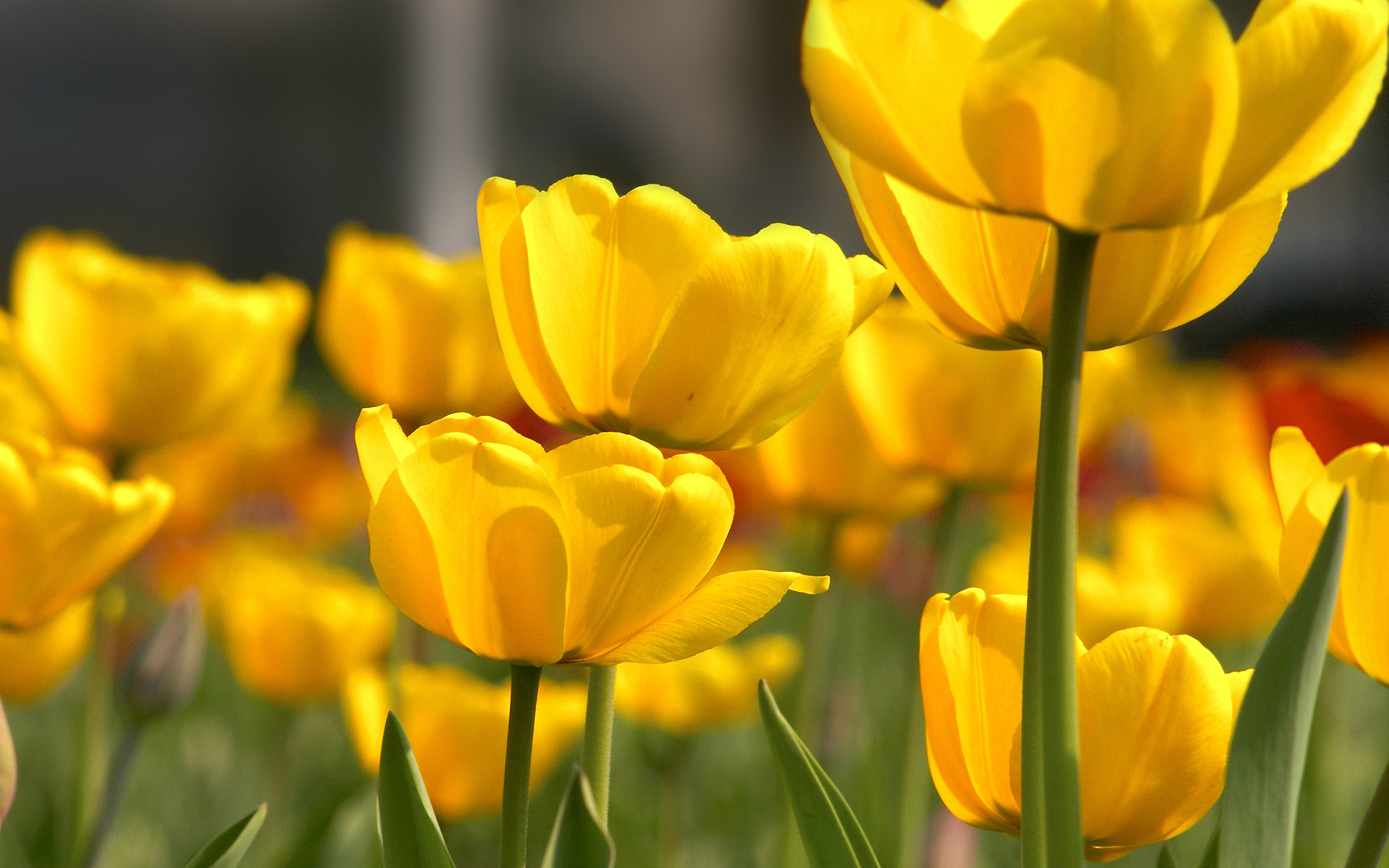 yellow flowers wallpapers pack - photo #19