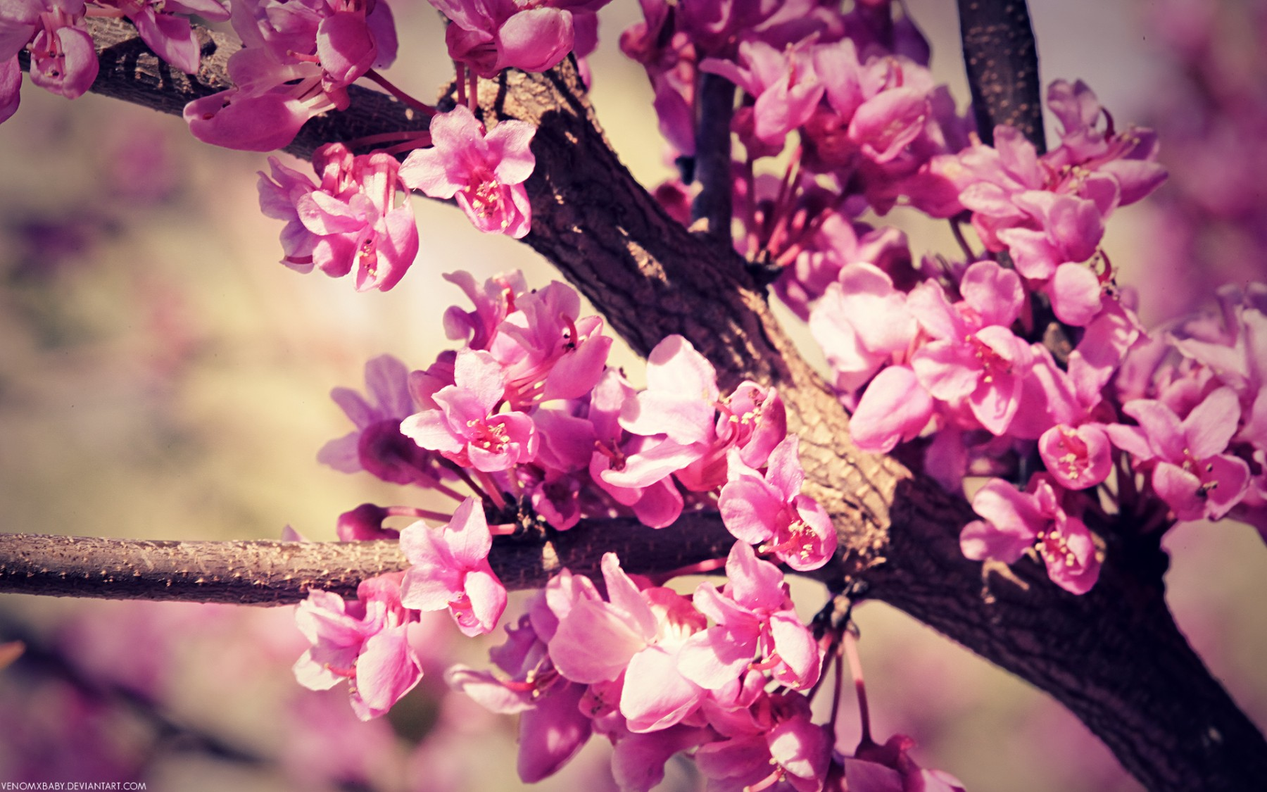 Vintage Pink Blossom – Photography Wallpapers
