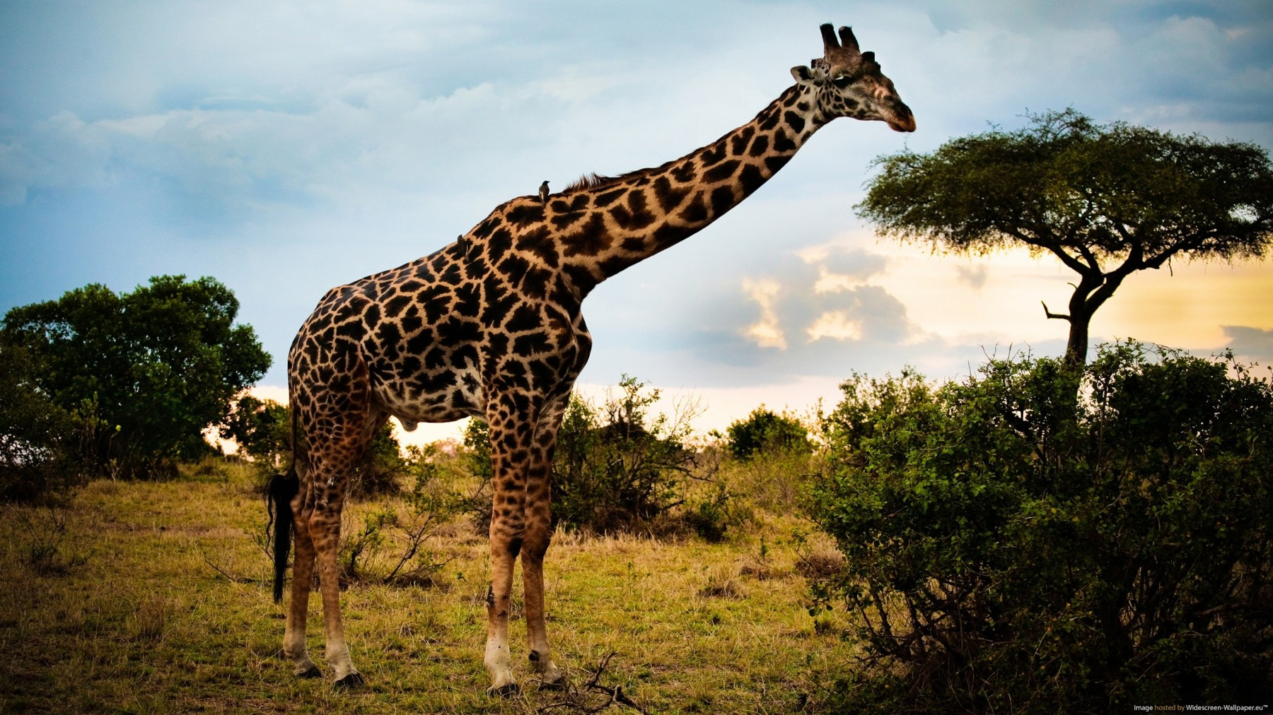 Wild Giraffe In Safari – Photography Wallpapers