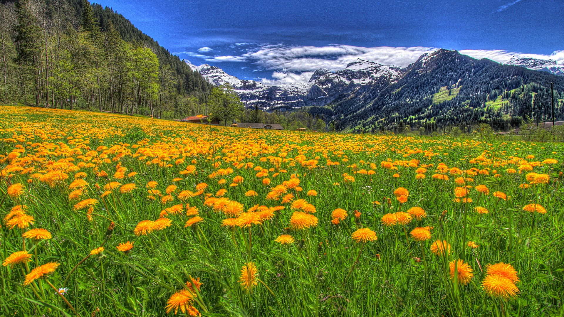 Mountains and Field of Yellow Dandelions – Photography Wallpapers