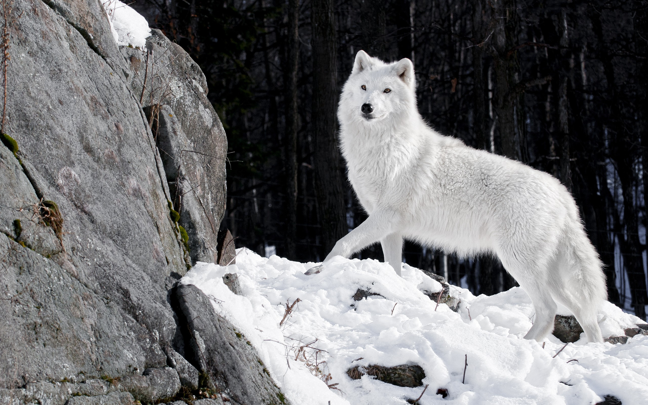 White Wolf – Photography Wallpapers