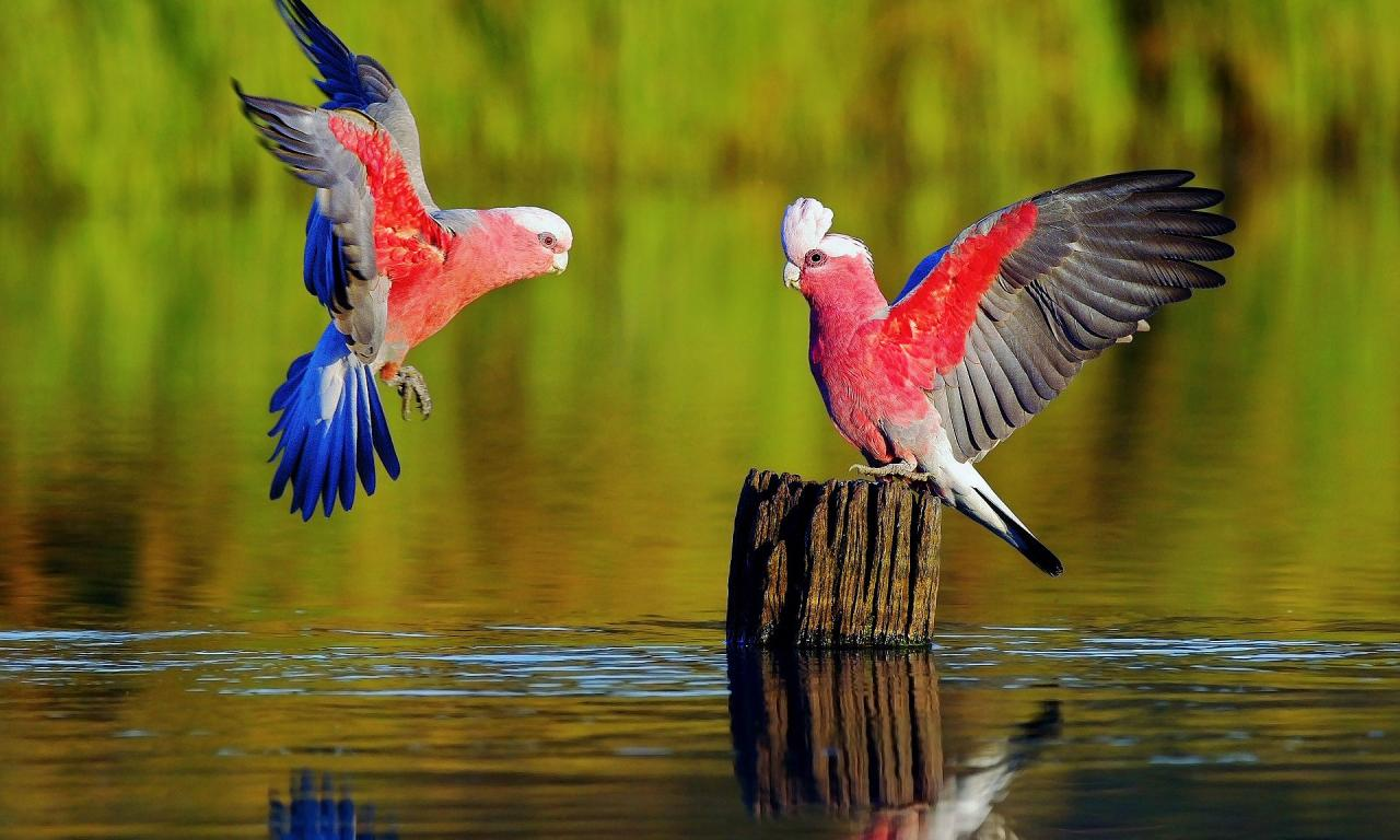Colorful Parrots Couple – Photography Wallpapers