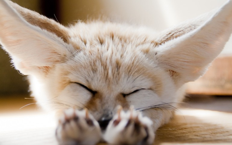 Cute Fox Puppy – Photography Wallpapers
