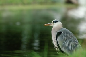 Heron Looking for Lunch – Photography Wallpapers