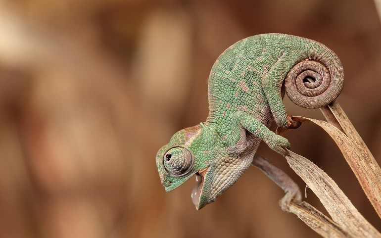 Cute Chameleon Portrait – Photography Wallpapers
