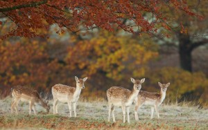 Deers in Wildlife Forest – Photography Wallpapers