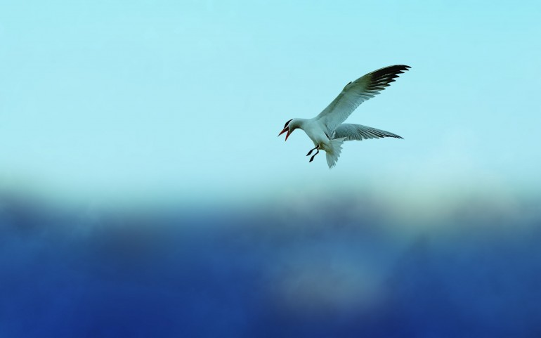 Flying, Seagull – Photography Wallpapers