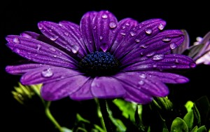 Purple Flower – Photography Wallpapers