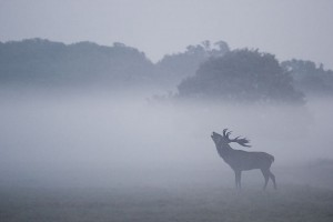 Stunning Red Deer in Richmond Park