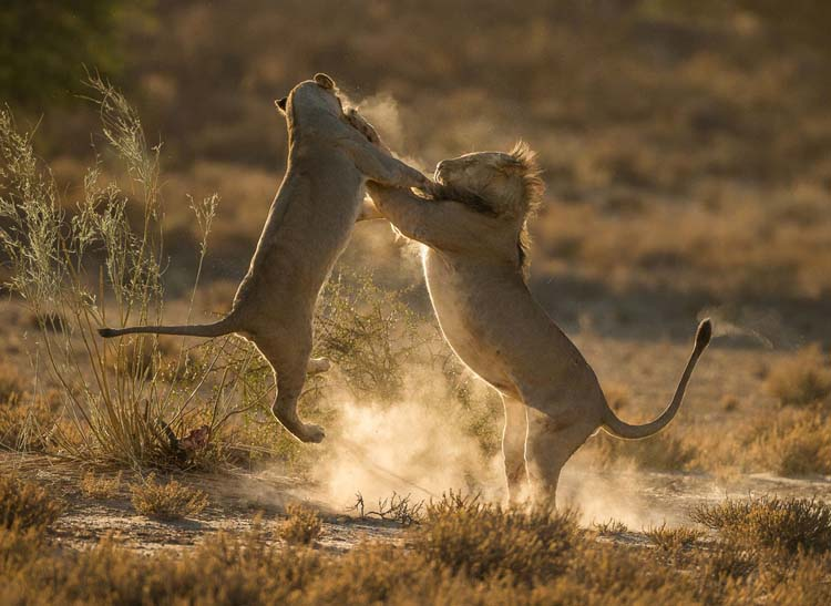Two lions fighting in the Kgalagadi Transfrontier Park, South Africa