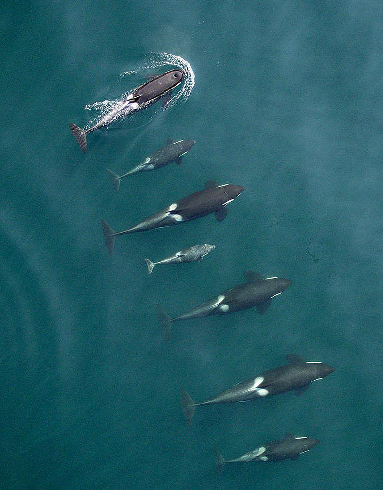 Puget Sound's killer whales looking good
