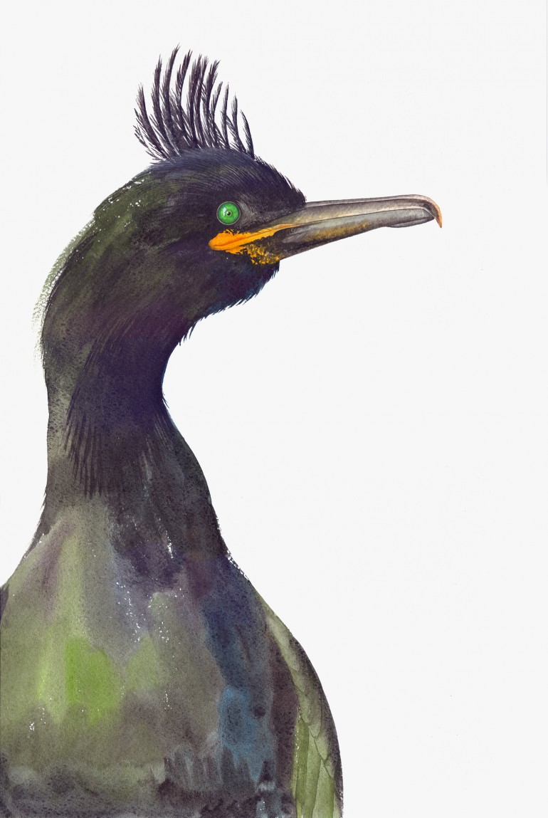 Black Shag Bird Watercolor Illustration