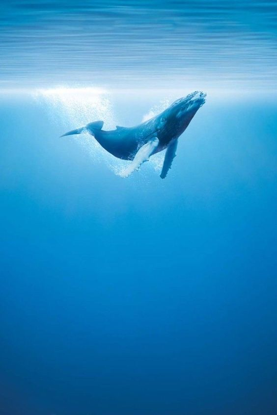 Whale – Underwater Photography