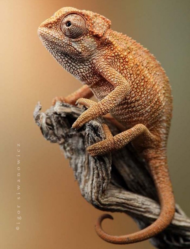 Astounding Chameleon Photography